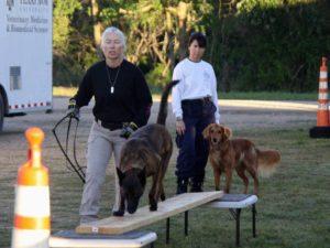Canine walking across a plank